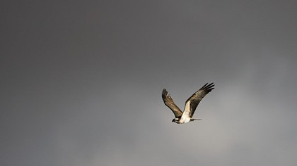 Juvenile osprey flying past thunderclouds