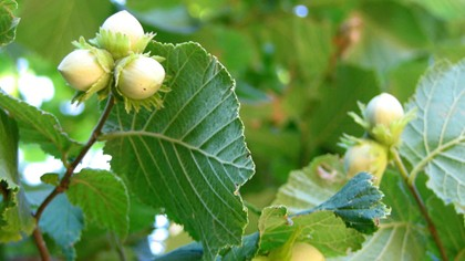 Hazelnuts on the tree