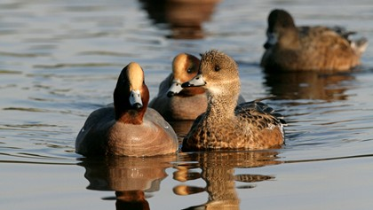 Male and female wigeon swimming