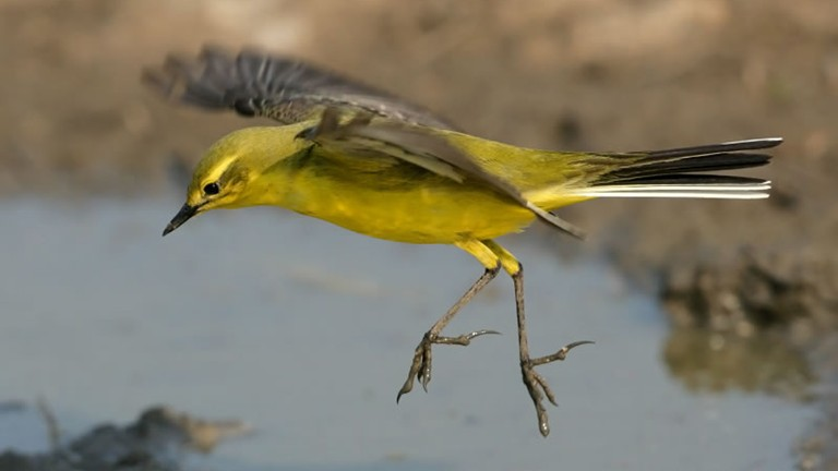 Male yellow wagtail jumping over puddle