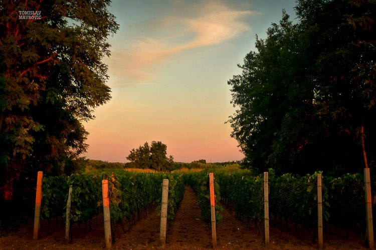 Vineyard | Total Croatia