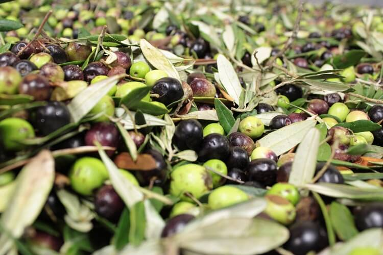 Olives | Total Croatia