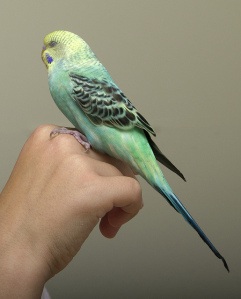 I had a vicious budgie when I was a kid