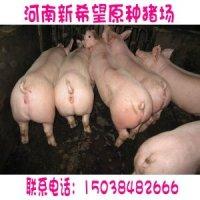 河南三元仔猪价河南省三元仔猪价格