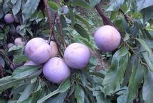 黑宝石李子种苗供应
