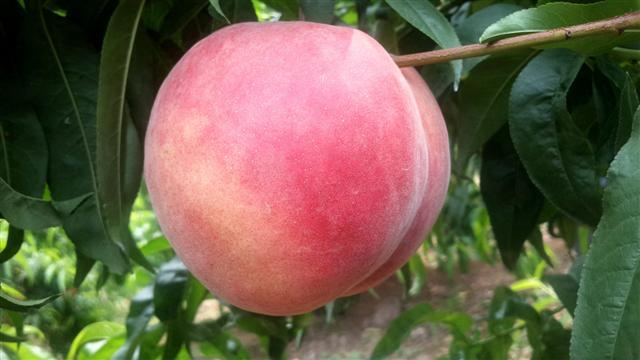 最新桃品种-岱妃