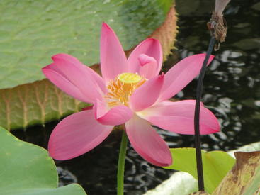 Image showing the sacred lotus (Nelumbo nucifera), previously thought to be related to the true waterlilies, but now known to be more closely related to plane trees and banksias