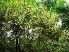 桂花树最新价格,优质桂花基地,桂花苗木价格