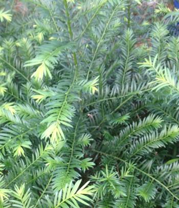 红豆杉苗,红豆杉种苗