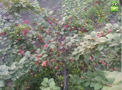 七月红大果樱桃结果状