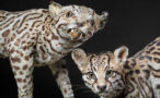 Thumbnail image for Terrible Taxidermy from When Exotic Animals Were Unknown in the West