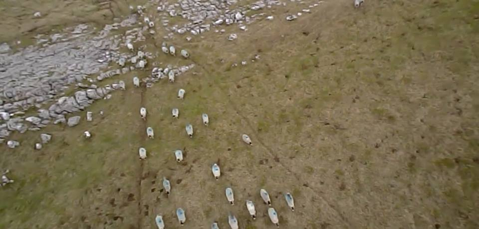 It turns out, sheep really like kites. © H. Brown.