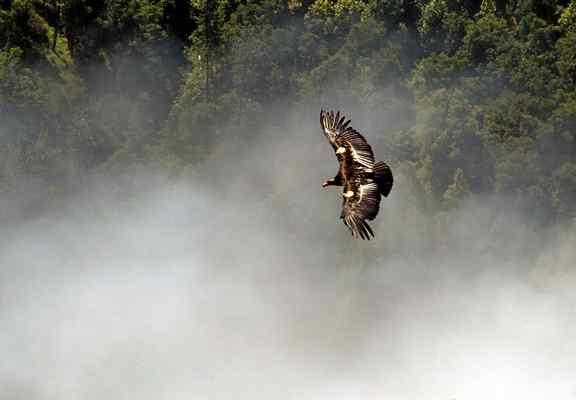 A California Condor soars over Big Sur. (Monterey Herald file photo)