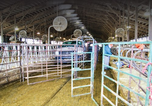 Gates and panels carried on the truck can be set up in any combination in any barn to route cows.