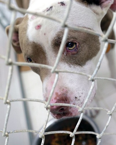 This pitbull mix, one of two recovered Sunday in La Salle, sits in a pen at Illinois Valley Animal Rescue. Wounds on the dog's head will cost the $200 in medical costs, shelter supervisor Jeremy McIntosh said.NewsTribune Photo/Chris Yucus