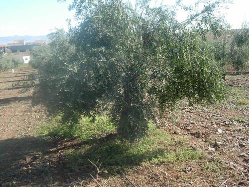 olivo from Hinojosa - Spain
