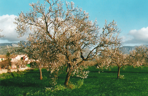 Almond tree in flower (Mallorca)