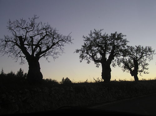 oliveres a Cornudella de Montsant