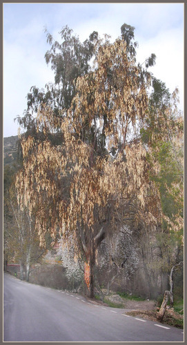 Enix, eucalipto seco