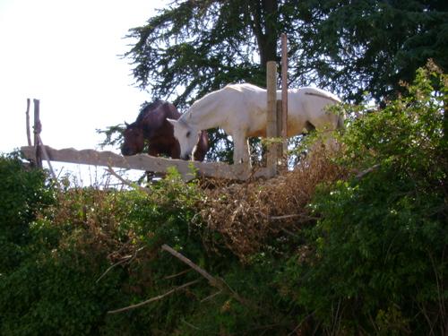 cheval blanc, cheval brun