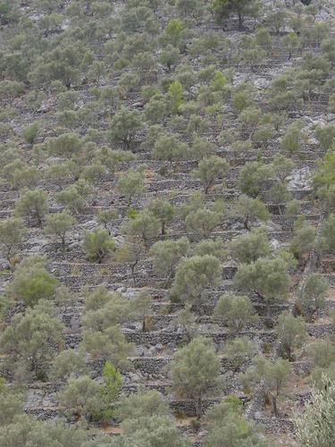 Oliveres a Caimari, Mallorca