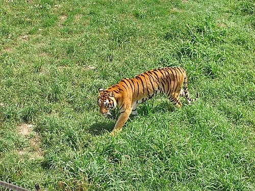 Tigre en el parque de Cabáceno