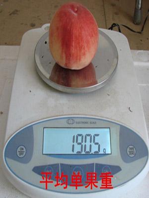 北京蜜脆桃平价重量