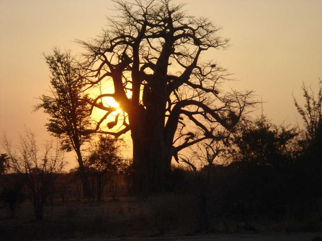 Big Tree sunset july 2006