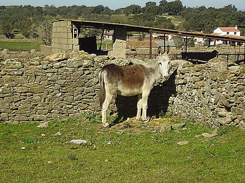 El burro de Bodonal