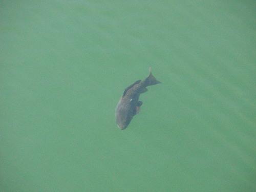 Un pez enorme por la presa