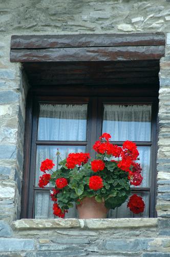 Geranios en flor en Espot