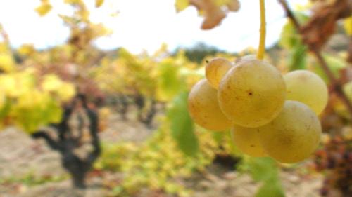 Racima Uva Blanca Baños de Ebro - Mañueta www.banosdeebro.com
