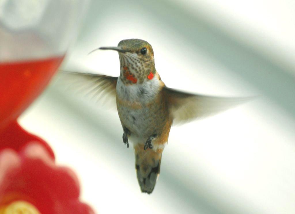 Anna's or Immature Calliope Hummingbird - Jerome County, Idaho - Tom Askew