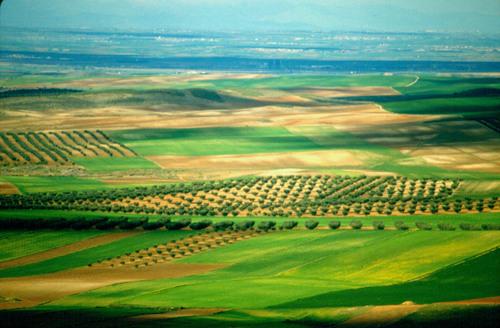 Campos de olivos. Almonacid de Toledo. Castilla La Mancha (Spain). Abr.-88