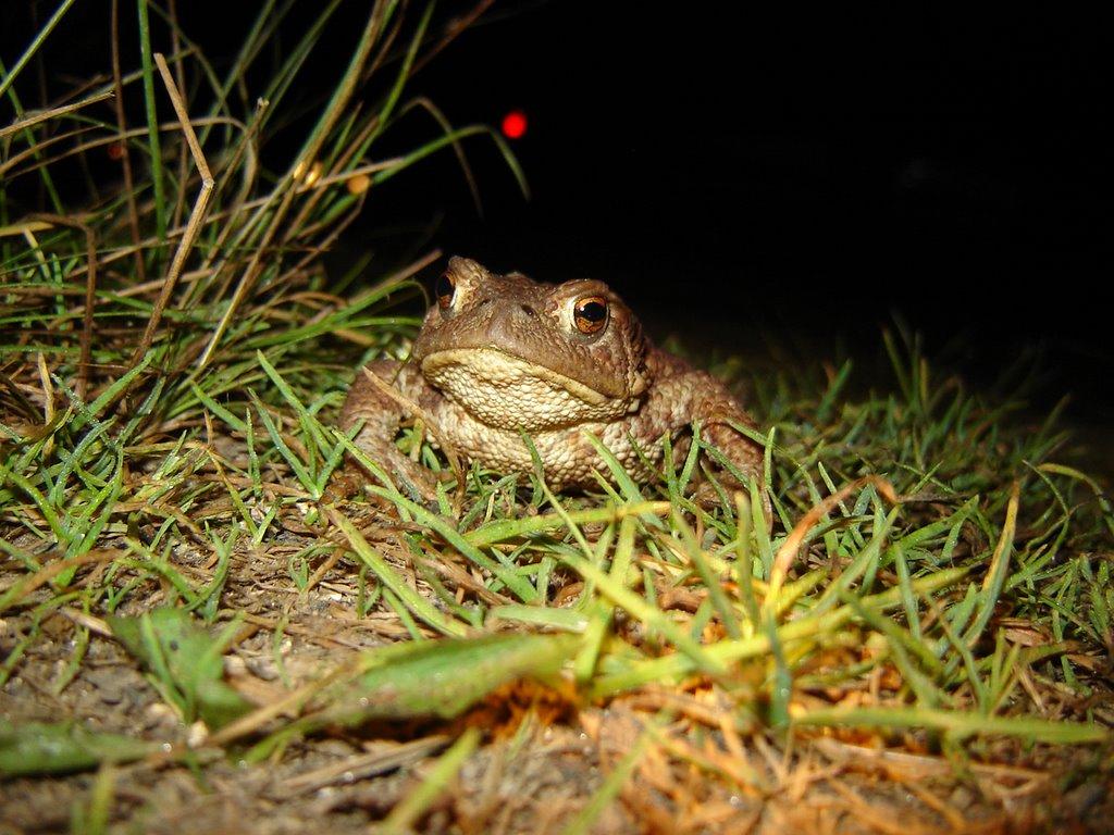 Night hunting Toad