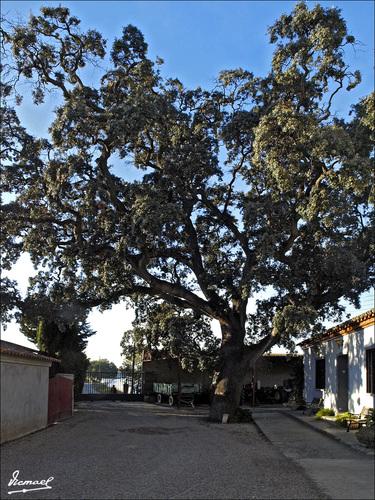 090118-03 ENCINA DEL CAMINO DE LOS MOLINOS
