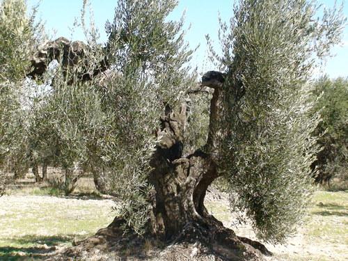Olivos de Barillas