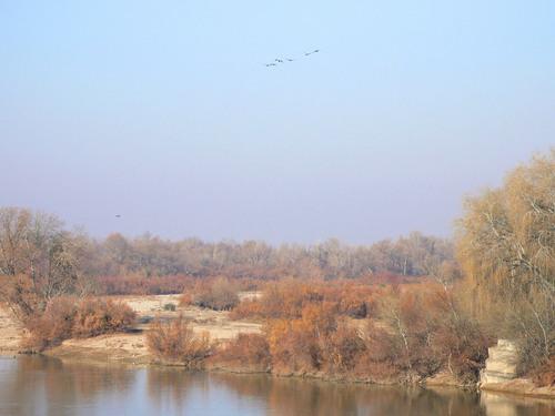 Cormoranes sobre los sotos del Ebro
