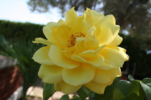 yellow rose by © SashM from garden by Christina