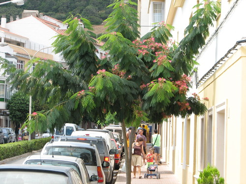 Main street is lined with Bottlebrush trees