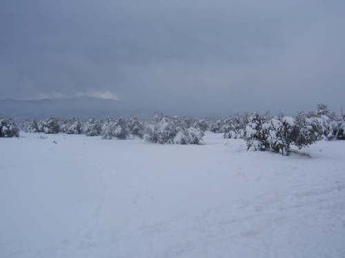 Olivos bajo la nieve en Arroyo del Ojanco