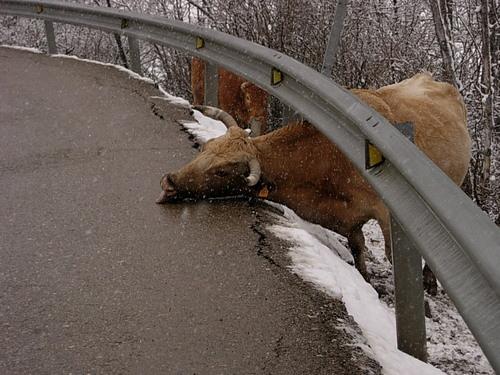 LA VACA ES PREN LA SAL DE LA CARRETERA  -  LA VACA SE TOMA LA SAL DE LA CARRETERA  -  THE COW EATS THE SALT OF THE ROAD