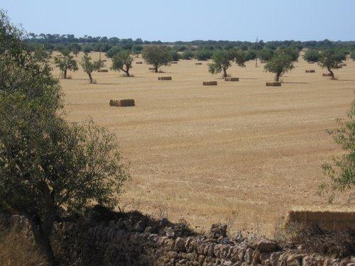 Psenicno polje - riesieges Weizenfeld 2