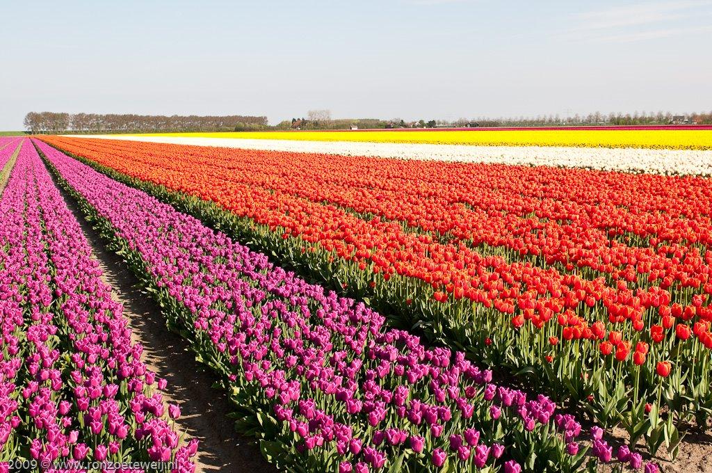 Tulpenveld bij Den Bommel