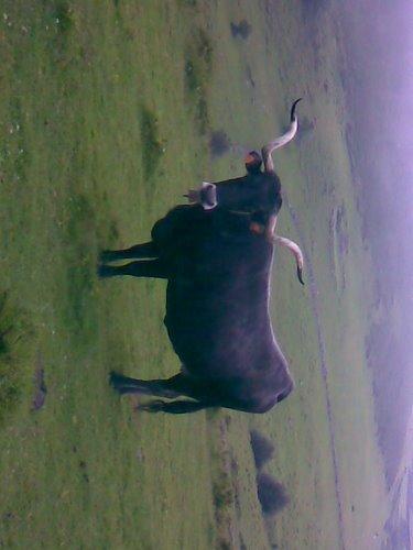 Bonito ejemplar de vaca tudanca