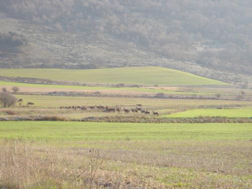 Ciervos cerca de Cervera de Pisuerga