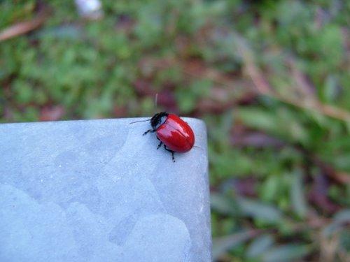 Pequeño escarabajo rojo