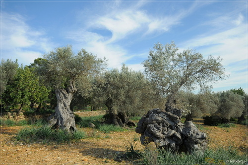 Spain - Mallorca - between Biniamar and Mancor / olive trees