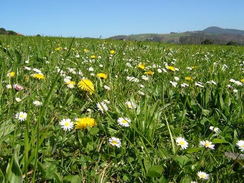 Flores en la pradera . Flowers in the meadow .