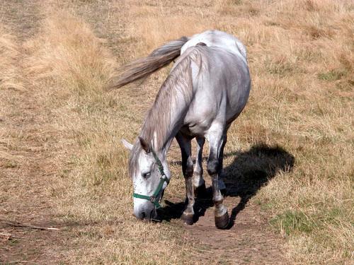 CAMINO DE SANTIAGO (2005). CORZÓN. Ruta Finisterre. Un hermoso caballo.